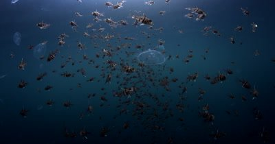Orbiculate Cardinalfish, Sphaeramia orbicularis swimming through a few pulsating Moon Jellyfish, Aurelia aurita in Uet era Ngermeuangel , Big Jellyfish Lake. A marine lake that has restricted access.