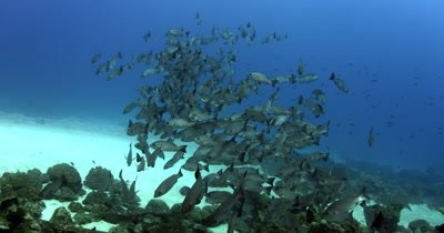 A large school of Red Snapper's,Lutjanus bohar swim towards the camera