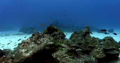 A reveal of a Whitetip Reefshark, Triaenodon obesus resting on the ocean floor,that swims away