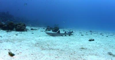 A reveal of two Whitetip Reefshark, Triaenodon obesus resting on the ocean floor,that swims away