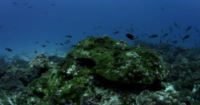 A Whitetip Reefshark, Triaenodon obesus gliding over the reef
