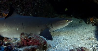 Close up of a Whitetip Reefshark, Triaenodon obesus looking for a place to rest for the night