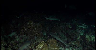 Hunting Whitetip Reefshark, Triaenodon obesus at night time
