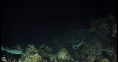Hundreds of frantic Hunting Whitetip Reefshark, Triaenodon obesus at night time, while a Giant Travelly,Caranx ignobilis glides past