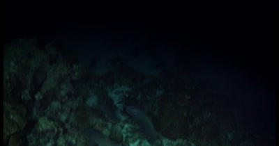 Frantic Hunting Whitetip Reefshark, Triaenodon obesus at night time catch a Goatfish, Mullidae spp for their dinner