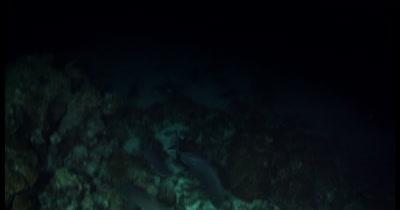 Frantic Hunting Whitetip Reefshark, Triaenodon obesus at night time catch a Goatfish, Mullidae spp for their dinner