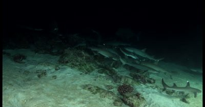 Hundreds of frantic Hunting Whitetip Reefshark, Triaenodon obesus at night time, while Giant Travelly,Caranx ignobilis glide past