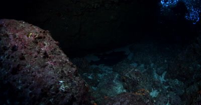 A reveal of Four resting Whitetip Reefshark, Triaenodon obesus at night time