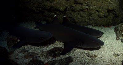 A close up of Three resting Whitetip Reefshark, Triaenodon obesus at night time