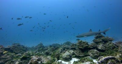 A Whitetip Reefshark, Triaenodon obesus swims the coral reef