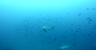 Scalloped Hammerhead Sharks, Sphyrna lewini glide in the sea