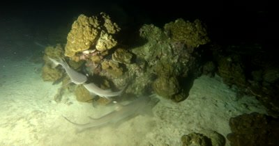 Whitetip Reefshark, Triaenodon obesus hunt the coral reef at night time