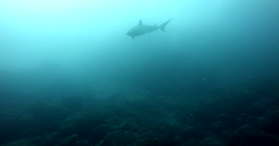 A largeTiger Shark, Galeocerdo cuvier swims past the camera