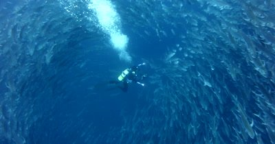 A diver is totally surrounded by Hundreds of Bigeye Trevally fish, Caranx sexfasciatus