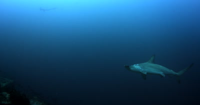 A Scalloped Hammerhead Shark, Sphyrna lewini glides past the camera