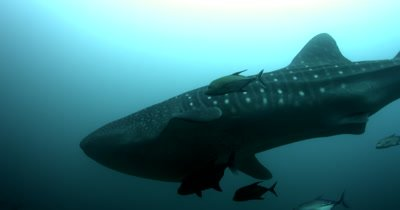 A Whaleshark, Rhincodon typus, the worlds largest fish glides smoothly past the camera