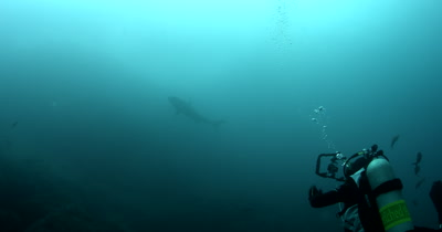 A largeTiger Shark, Galeocerdo cuvier swims past a diver