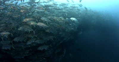 Hundreds of Bigeye Trevally fish, Caranx sexfasciatus swirl infront of the camera forming a bait ball