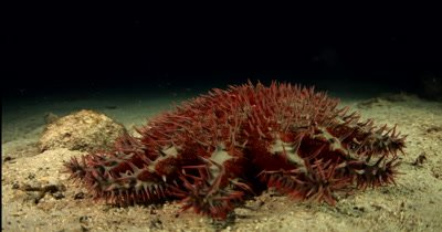 A red and cream coloured Crown-of-thorns sea star, Acanthaster planci hunts for food at night