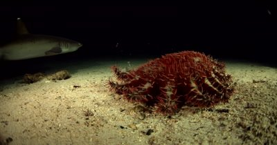 A red and cream coloured Crown-of-thorns sea star, Acanthaster planci hunts for food at night while White Tip Sharks, Triaenodon obesus pass by