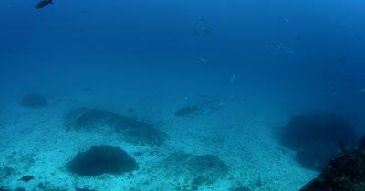 A largeTiger Shark, Galeocerdo cuvier patrols the ocean floor