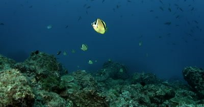 A school of Chaetodon Spp, fish waiting to clean Hammerhead Sharks