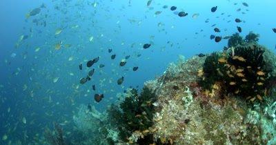 Schools of Scissor-Tailed Fusilier,Caesio caerulaurea,Deep-bodied Fusilier, Caesio cuning, fish swirl above the coral reef