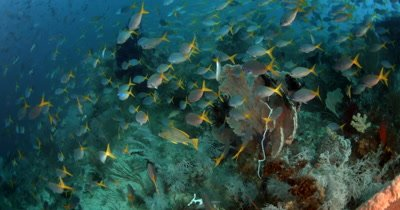 A large School of Deep-bodied Fusilier, Caesio cuning, fish swirl above the coral reef