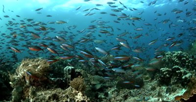 A school of neon coloured Dark-banded Fusiliers, Pterocaesio tile swarm over the coral reef