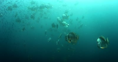 A large school of Longfin Batfish (Spadefish), Platax teira and Scissor-Tailed Fusilier,Caesio caerulaurea swim in the sea