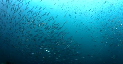 A school of Bluestreak Fusilier, Pterocaesio tile fish and a bait ball of Anchovies, Stolephorus indicus swirl in the sea