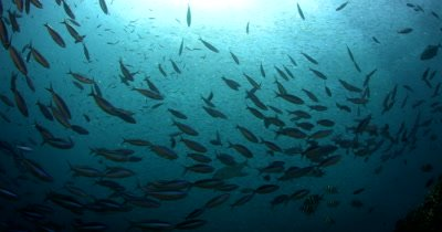 A school of Bluestreak Fusilier, Pterocaesio tile fish and Bat fish swirl in front of a bait ball of Anchovies, Stolephorus indicus
