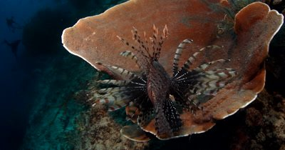 A Lionfish,Pterois spp corners its prey on a hard coral and eats it.