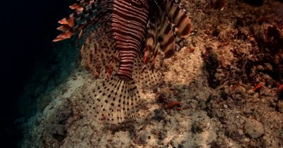 A medium shot of A Lionfish,Pterois spp tail swaying
