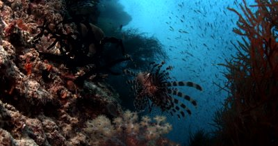 Two Lionfish,Pterois spp floating in the sea full of glistening Anchovy