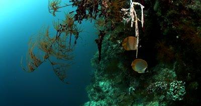Two Panda Butterflyfish, Chaetodon adiergastos
