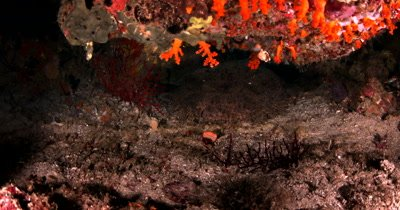 A Tassled Wobbegong Shark, Eucrossorhinus dasypogon hides under a coral ledge