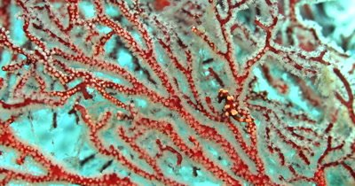 A rare tiny Denise's pygmy seahorse,(Raja Ampat Pygme Seahorse) Hippocampus denise moves on its Red and white Gorgonian sea fan.