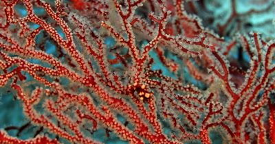 A rare tiny Denise's pygmy seahorse,(Raja Ampat Pygme Seahorse) Hippocampus denise moves its mouth while holding onto a Red and white Gorgonian sea fan.