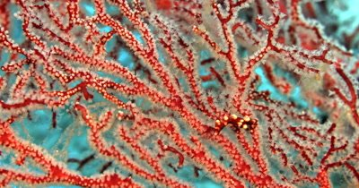 A rare tiny Denise's pygmy seahorse,(Raja Ampat Pygme Seahorse) Hippocampus denise looks about, while holding onto a Red and white Gorgonian sea fan.