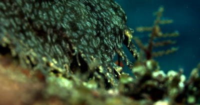 An Extreme close up of the frilly egde of a Tassled Wobbegong Shark, Eucrossorhinus dasypogon