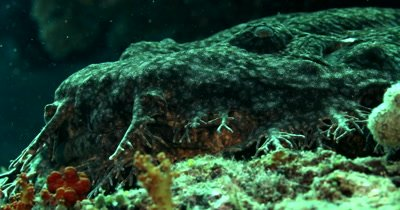An Extreme close up of the face of a Tassled Wobbegong Shark, Eucrossorhinus dasypogon