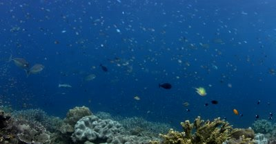 Schools of Ambon chromis (damselfish), Chromis amboinensis and Humpback Unicornfish, Naso brachycentron pass over the reef that is teaming with coral fish.
