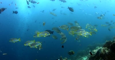 A school of striped Lined Sweetlips, Plectorhinchus lineatus pass in front of the camera
