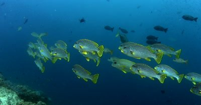 A school of striped Lined Sweetlips fish, Plectorhinchus lineatus swim by while schools of Anchovy, Stolephorus indicus flash in the distance.