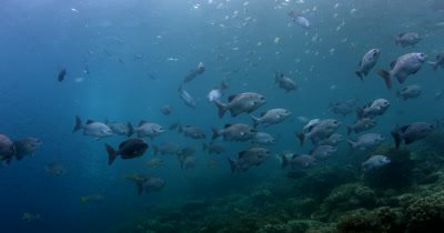 A large school of Gray Rudderfish,, Lowfin Drummer, Kyphosus vaigiensis and black stripped Indo Pacific Sergeant fish, Abudefduf vaigiensis