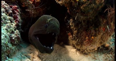 Cleaner shrimps floating around a mouthing Giant Moray Eel, Gymnothorax javanicus