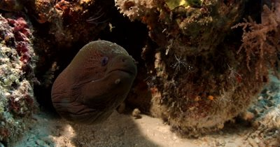 A cleaner shrimp tickles the nose of a mouthing Giant Moray Eel, Gymnothorax javanicus