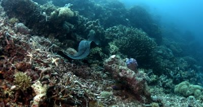 A Giant Moray Eel, Gymnothorax javanicus slithers on the coral reef