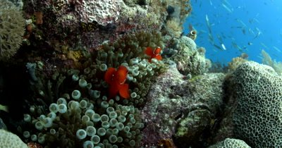 Two Spinecheek anemonefish (Maroon Clownfish), Premnas biaculeatus resting in their anemone